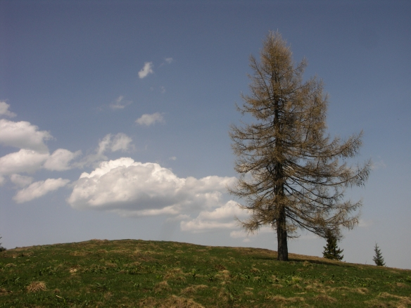 Copacul din Muchia Lungă